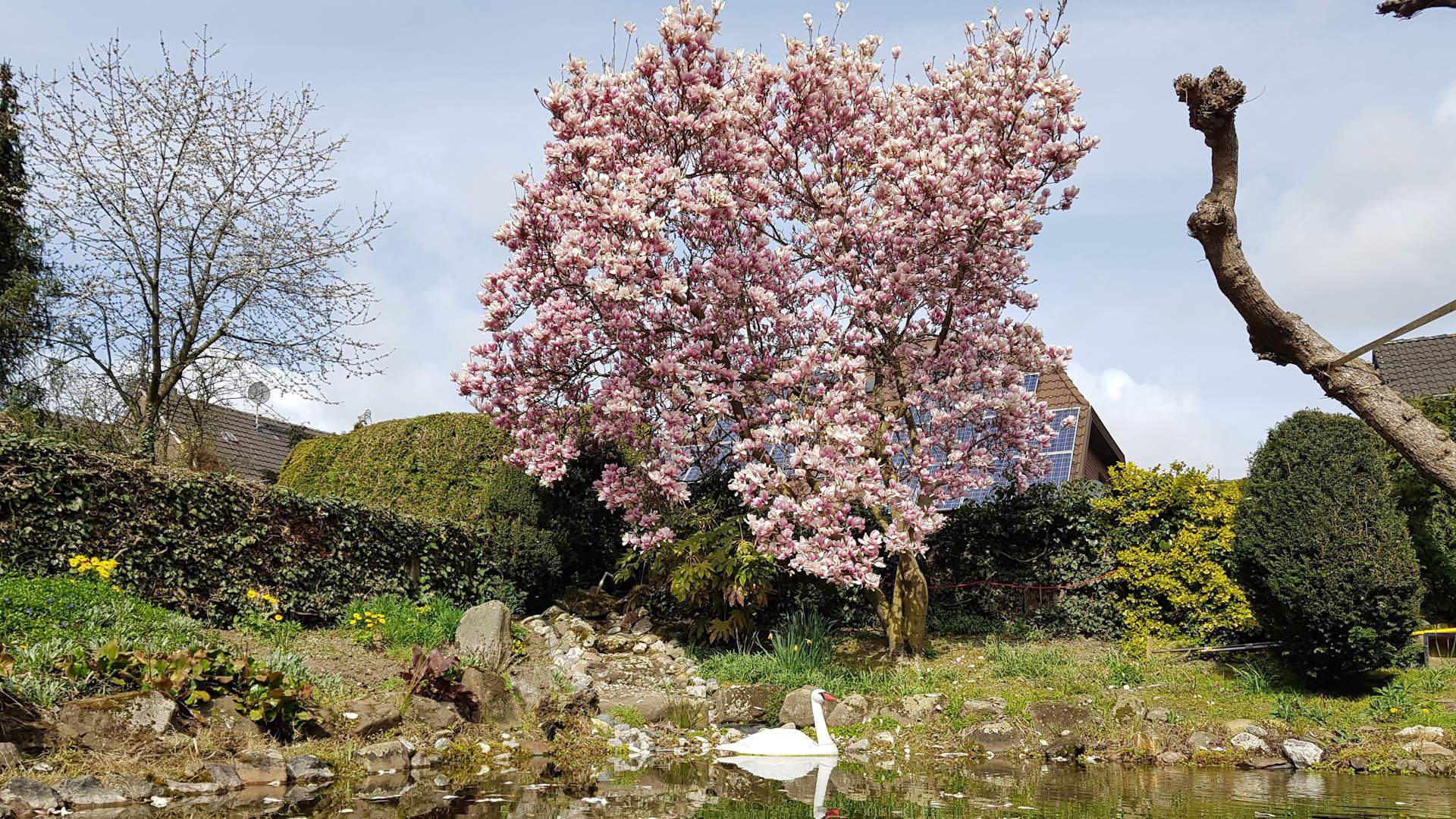 magnolie_5.1
